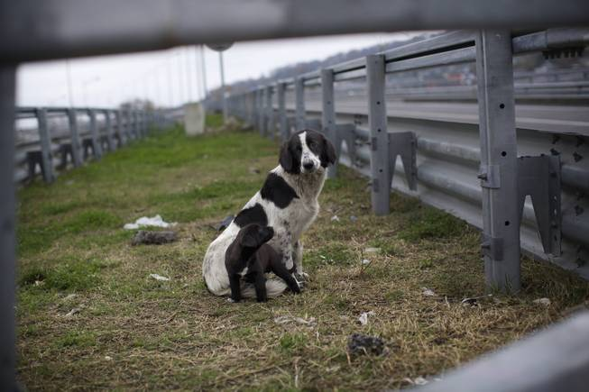In this photo taken on Thursday, Nov. 28, 2013, a stray dog and its puppy sit behind the railings in the middle of a highway outside Sochi, Russia.