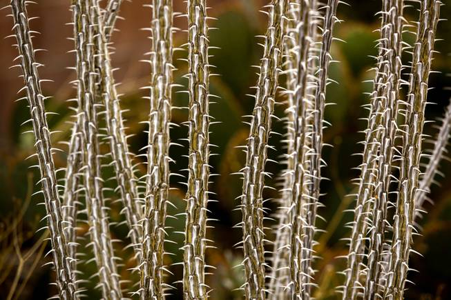 Ocotillo cactus grows tall and thin within an arid patch of Norm Schillings home botanical garden on Tuesday, Jan. 21, 2014.
