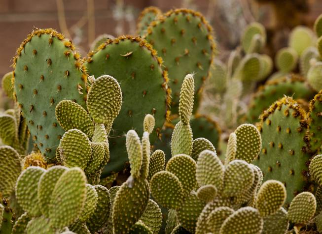 Bunny ear and Paddle cactus grow within in arid part of Norm Schillings home botanical garden on Tuesday, Jan. 21, 2014.