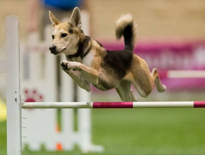 In this Dec. 14, 2012, photo provided by Great Dane Photos, Roo! clears a hurdle during an agility competition in Orlando, Fla. The husky mix will be one of about 225 agility dogs whizzing through tunnels, around poles and over jumps as she competes in the Westminster Dog Show's new agility competition in February 2014. The agility competition is open to mix-breeds as well as pedigrees.