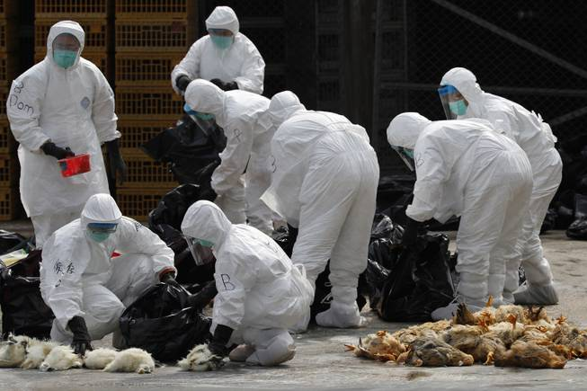 Health workers in full protective gear pick up killed chickens in plastic bags after suffocated them by using carbon dioxide at a wholesale poultry market in Hong Kong, Tuesday, Jan. 28, 2014.