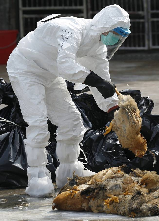 A health worker in full protective gear picks up a chicken which was suffocated by carbon dioxide at a wholesale poultry market in Hong Kong, Tuesday, Jan. 28, 2014.