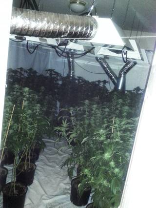 On Monday, Jan. 24, 2014, detectives seized 425 marijuana plants, 1.5 pounds of marijuana ready for sale, and a five foot long alligator at a grow house on the 8000 block of Wards Ferry Street.