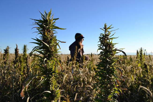 A volunteer harvests hemp during the first known harvest of the plant in more than 60 years Saturday, Oct. 5, 2013, in Springfield, Colo.