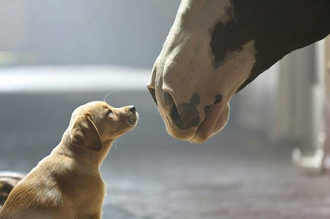 "This undated frame grab provided by Anheuser-Busch shows the company's 2014 Super Bowl commercial titled ""Puppy Love."" The ad will run in the fourth quarter of the game."