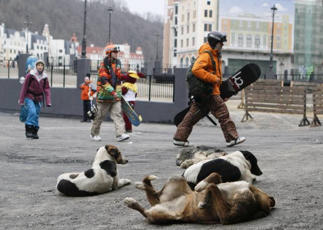 Downhill skiers walk past stray dogs to a ski lift as Alpine ski season opens at the newly built Rosa Khutor ski resort in Krasnaya Polyana near the Black Sea resort of Sochi, southern Russia, Saturday, Dec. 24, 2011. Sochi will host the 2014 Winter Olympics.