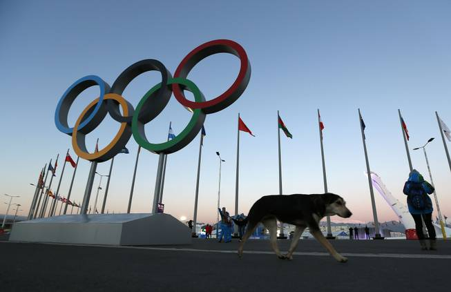 A stray dog walks past the Olympic Rings in Olympic Park, three days before the start of the 2014 Winter Olympics, Monday, Feb. 3, 2014, in Sochi, Russia. A pest control company which has been killing stray dogs in Sochi for years told The Associated Press on Monday that it has a contract to exterminate more of the animals throughout the Olympics.