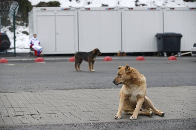 Stray dogs sit outside the Rosa Khutor Extreme Park course, a venue for the snowboarding and freestyle competitions of the 2014 Winter Olympics, in Sochi, Russia, Monday, Feb. 3 2014.  A pest control company which has been killing stray dogs in Sochi for years told The Associated Press on Monday that it has a contract to exterminate more of the animals throughout the Olympics.