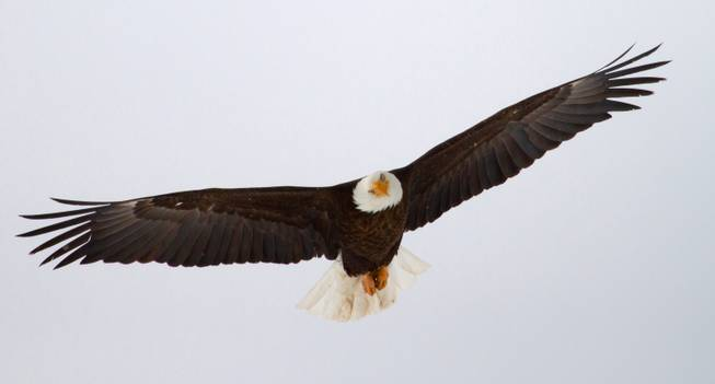 In this undated photo released by the Utah Division of Wildlife Resources, a bald eagle files in Utah. Proponents credit the Endangered Species Act with staving off extinction for hundreds of species, from the bald eagle and American alligator to the gray whale, but Republicans in Congress say the 40-year-old law meant to protect animals and plants from extinction has become bogged down by litigation and needs to be updated.