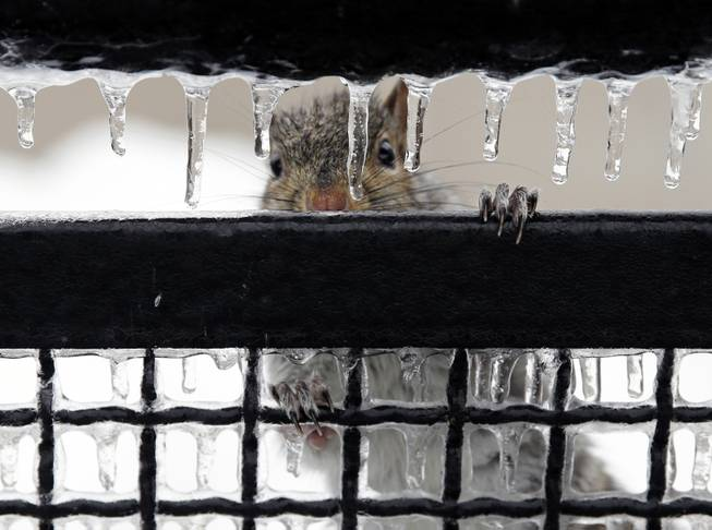 A squirrel peers through icicles Wednesday, Feb. 5, 2014, in Trenton, N.J. Temperatures around most of New Jersey are rising and the freezing rain that snarled much of the morning rush is ending.