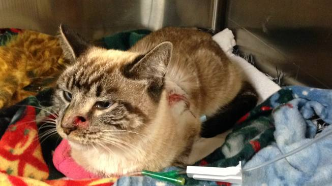 Quiver, a cat that was shot with an arrow, rests in a cage Thursday, Feb. 6, 2014, after undergoing surgery in Washington, Utah.