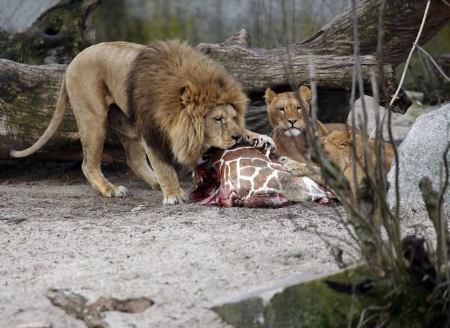 The carcass of Marius, a male giraffe, is eaten by lions after he was put down in Copenhagen Zoo on Sunday, Feb. 9, 2014.