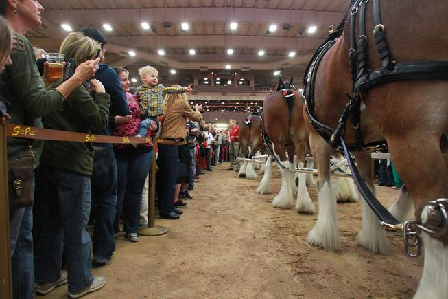 Attendees get an up close look at the Budweiser Clydesdales during an appearance at the South Point Arena Thursday, Feb. 20, 2014.