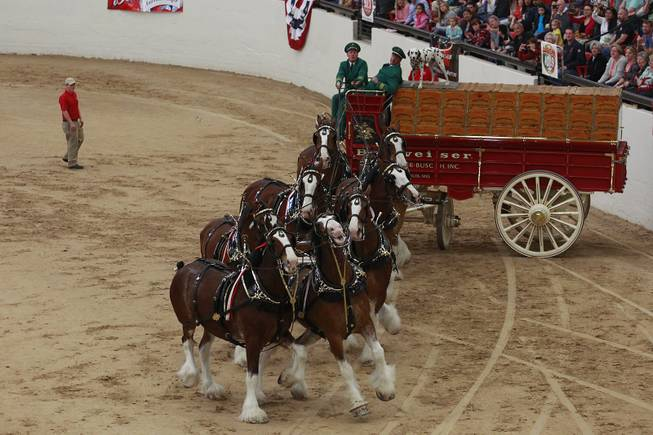 Driver Doug Bousselt and the Budweiser Clydesdales demonstrate how a wagon used to be put in position for a loading dock during an appearance at the South Point Arena Thursday, Feb. 20, 2014.