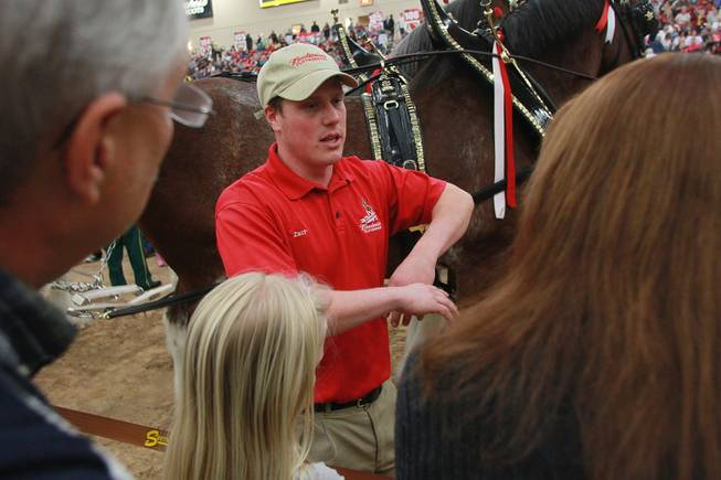 Handler Zach Uding answers questions during an appearance of the Budweiser Clydesdales at the South Point Arena Thursday, Feb. 20, 2014.