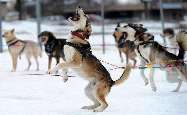 "Saki is ready to go as Iditarod musher Michelle Phillips of Tagish, Yukon, takes her dogs out for a run on Friday, Feb. 28, 2014, at Tozier Track in Anchorage, Alaska. ""We're just doing a little stretching-out run,"" she said. ""They've been in the truck a long time."" Several mushers visited the track Friday in preparation for Saturday's ceremonial start of the Iditarod Trail Sled Dog Race."