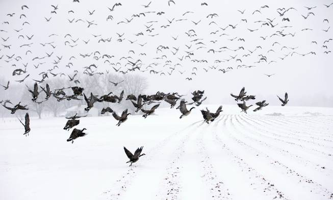 Canada Geese take flight from a farm field during a snow storm, Monday, March 3, 2014, in Davidsonville, Md. Spring is in sight, but winter is keeping its icy hold on much of the country, with up to a foot of snow and plummeting temperatures expected across the Mid-Atlantic states and up the East Coast.