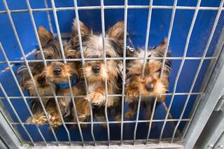 Yorkshire terrier puppies look out from a kennel at the Animal Foundation Campus, 655 N. Mojave Road, Tuesday, March 4, 2014. The puppies were rescued during a fire at the Prince and Princess Pet Shop on Jan. 27.