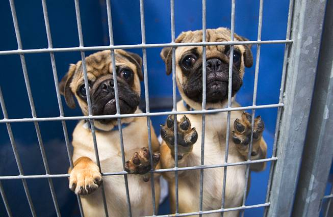 Pug puppies look out from a kennel at the Animal Foundation Campus, 655 N. Mojave Road, Tuesday, March 4, 2014. The puppies were rescued during a fire at the Prince and Princess Pet Shop on Jan. 27.