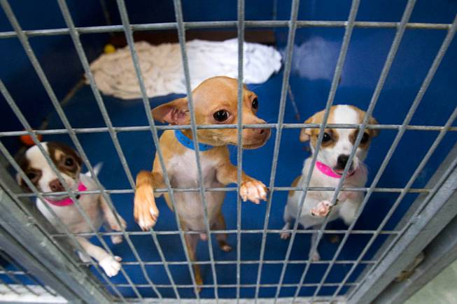 Chihuahua puppies look out from a kennel at the Animal Foundation Campus, 655 N. Mojave Road, Tuesday, March 4, 2014. The puppies were rescued during a fire at the Prince and Princess Pet Shop on Jan. 27.