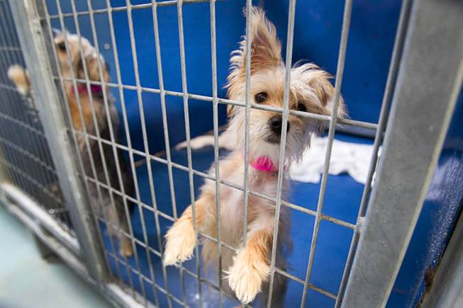 A Yorkshire terrier puppy looks out from a kennel at the Animal Foundation Campus, 655 N. Mojave Road, Tuesday, March 4, 2014. Twenty-seven puppies were rescued during a fire at the Prince and Princess Pet Shop on Jan. 27.