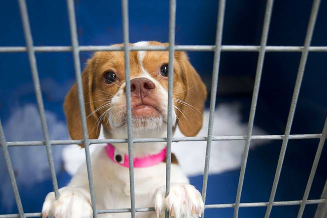 A Beagle puppy looks out from a kennel at the Animal Foundation Campus, 655 N. Mojave Road, Tuesday, March 4, 2014. They were among 27 puppies rescued during a fire at the Prince and Princess Pet Shop on Jan. 27.