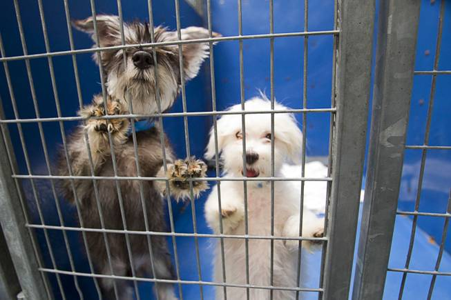 A schnauzer and poodle puppy look out from a kennel at the Animal Foundation Campus, 655 N. Mojave Road, Tuesday, March 4, 2014.  They were among 27  puppies rescued during a fire at the Prince and Princess Pet Shop on Jan. 27.