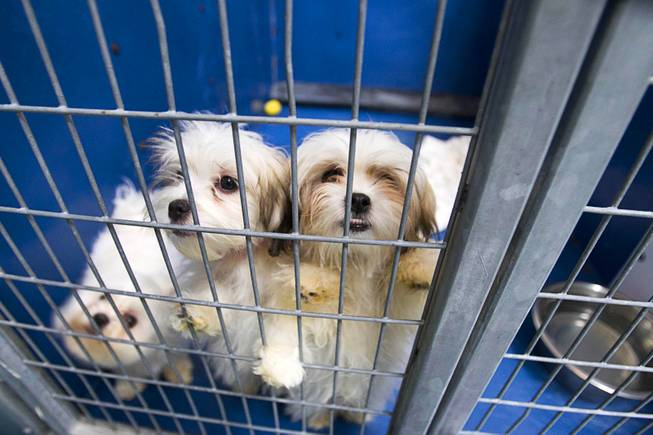 Maltese puppies look out from a kennel at the Animal Foundation Campus, 655 N. Mojave Road, Tuesday, March 4, 2014. They were among 27  puppies rescued during a fire at the Prince and Princess Pet Shop on Jan. 27.