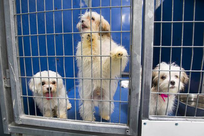 Puppies look out from a kennel at the Animal Foundation Campus, 655 N. Mojave Road, Tuesday, March 4, 2014. They were among 27  puppies rescued during a fire at the Prince and Princess Pet Shop on Jan. 27.