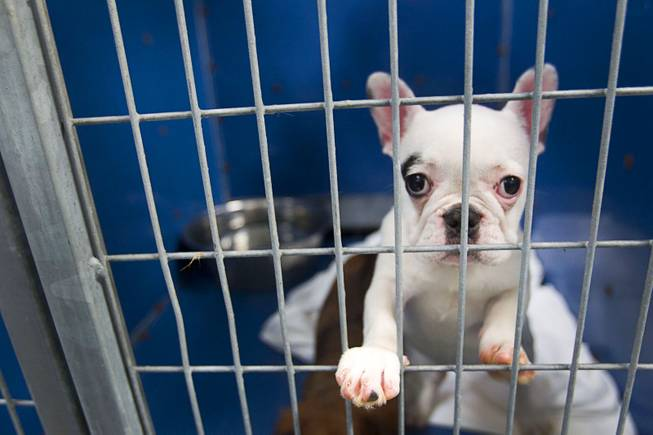 A French bulldog puppy looks out from a kennel at the Animal Foundation Campus, 655 N. Mojave Road, Tuesday, March 4, 2014. The dog was among 27 puppies rescued during a fire at the Prince and Princess Pet Shop on Jan. 27.