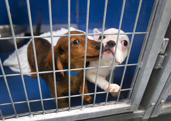 A Dachshund and French bulldog look out from a kennel at the Animal Foundation Campus, 655 N. Mojave Road, Tuesday, March 4, 2014. They were among 27 puppies rescued during a fire at the Prince and Princess Pet Shop on Jan. 27.