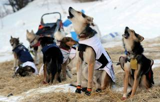 The dogs of Iditarod musher Allen Moore, from Two Rivers, Alaska,  howl as they prepare to leave the Takotna checkpoint during the Iditarod Trail Sled Dog Race on Thursday, March 6, 2014.