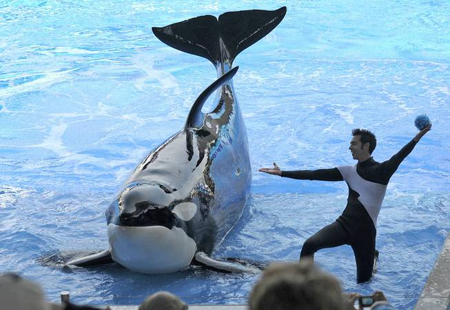 Trainer Joe Sanchez works with killer whale Kayla in Shamu Stadium at SeaWorld Orlando on March 7, 2011, in Orlando, Fla.