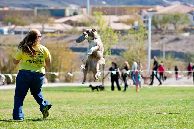 Xcel, a 3-year-old Baussie, flies in the air to snag a frisbee while competing with Sierra Lyman at the City of Henderson's 11 Annual Bark in the Park event at Cornerstone Park Saturday, March 8, 2014.