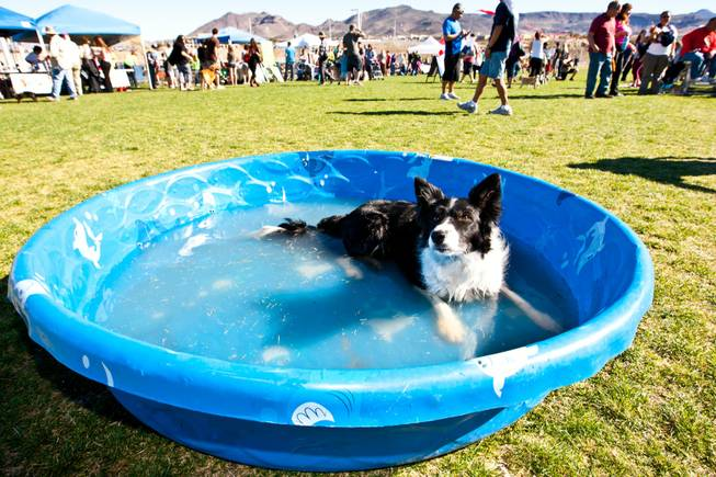 Vega, a four-year-old Border Collie, chills in a pool of drinking water while attending the City of Henderson's 11 Annual Bark in the Park event at Cornerstone Park Saturday, March 8, 2014.