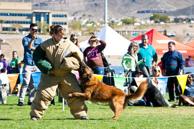 Henderson Police Department Corrections Officer Tammy Seevers demonstrates a K9 attach with Dino, a Belgian Tervuren, for eventgoers attending the City of Henderson's 11 Annual Bark in the Park event at Cornerstone Park Saturday, March 8, 2014.