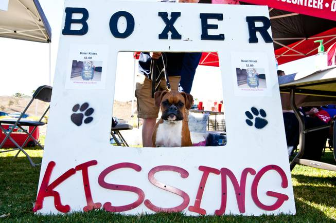 Kaluah, a nine-month-old boxer, waits to give some kisses while trying to earn money for the Las Vegas Boxer Rescue at the City of Henderson's 11 Annual Bark in the Park event at Cornerstone Park Saturday, March 8, 2014.