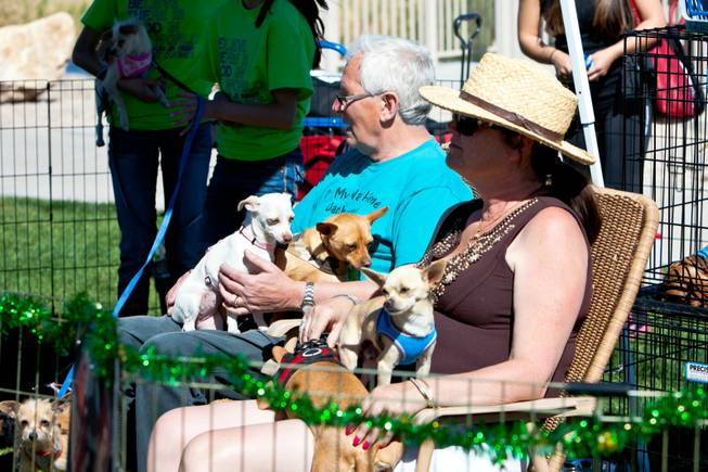 Volunteers hold armfuls of Chihuahua in the On My Way Home Rescue booth at the City of Henderson's 11 Annual Bark in the Park event at Cornerstone Park Saturday, March 8, 2014.