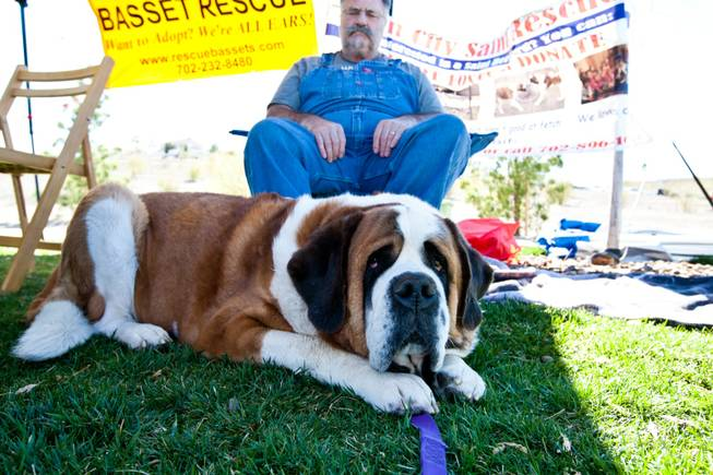 Norbert, a five-year-old St. Bernard, relaxes in the shade with his owner in the Sin City St. Bernard Rescue booth at the City of Henderson's 11 Annual Bark in the Park event at Cornerstone Park Saturday, March 8, 2014.