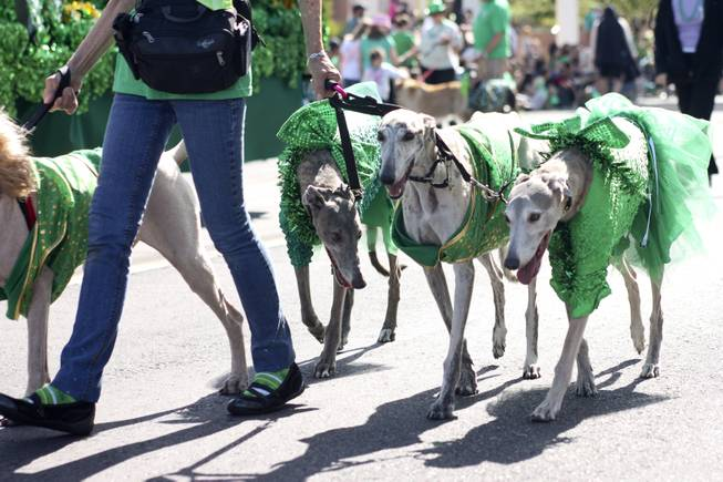 Greyhounds from the Las Vegas Greyhound Pet Association during the annual St. Patrick's Day parade in Henderson Saturday, March 15, 2014.