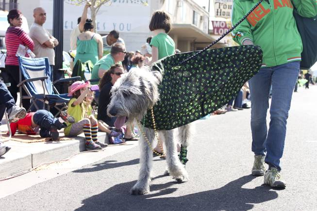 An Irish wolfhound walks by the crowd during the annual St. Patrick's Day parade in Henderson Saturday, March 15, 2014.