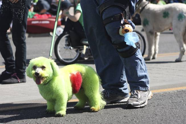 A dog with a green coat  and a red heart shaped out it's fur with Alicia's Mobile Pet Groomings watches the crowd during the annual St. Patrick's Day parade in Henderson Saturday, March 15, 2014.