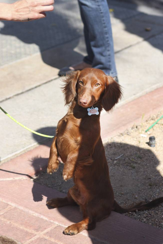Hunter, a dachshund, waits for a treat from his owner during the annual St. Patrick's Day parade in Henderson Saturday, March 15, 2014.