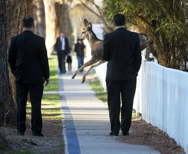 A deer jumps in front of Nevada Gov. Brian Sandoval, right, while he walks to work, Wednesday, March 19, 2014, in Carson City.
