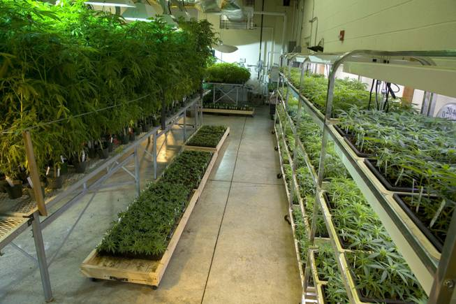 Marijuana plants grow inside the Coy W. Waller Laboratory Complex at the University of Mississippi in Oxford. Last year, the National Institute on Drug Abuse paid the university nearly $847,000 to produce and distribute the drug, which is used mainly for research.