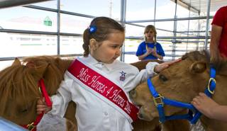 Sophie Juhl, 5, of North Las Vegas interacts with several miniature horses in the stables after a Horses4Heroes ribbon-cutting ceremony and grand-opening event at Tule Springs on Thursday, March 6, 2014.