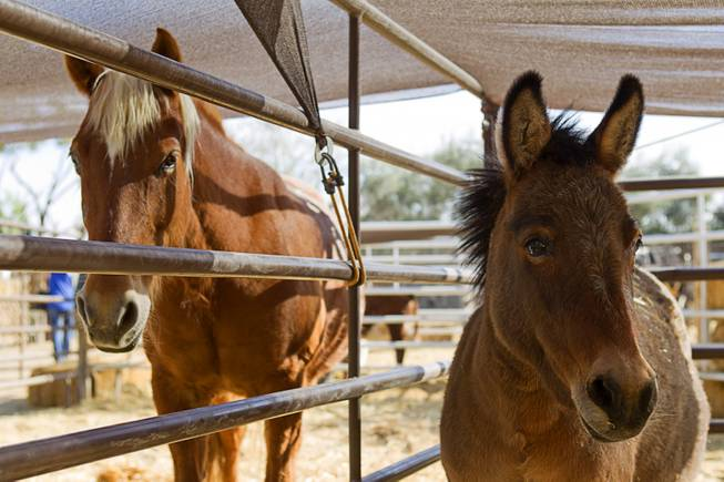 A horse and pony mule are shown at The Farm, 7222 West Grand Teton Drive, Sunday, March 23, 2014. STEVE MARCUS