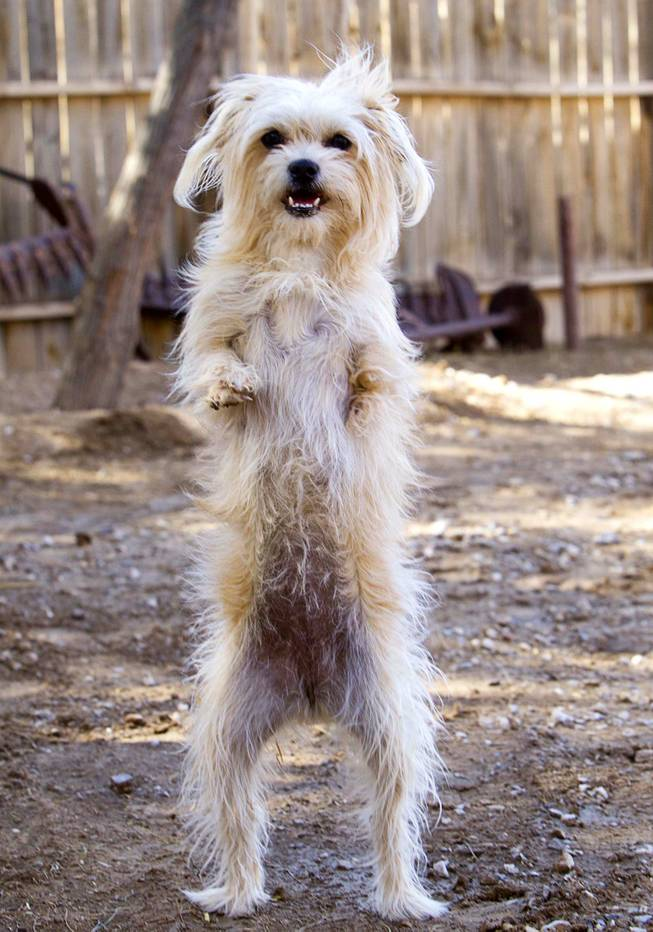 Lulu, probably a Maltese-mix, is shown at The Farm, 7222 West Grand Teton Drive, Wednesday, March 26, 2014. Due to a birth defect, Lulu has no left front leg and only part of the right front leg. STEVE MARCUS