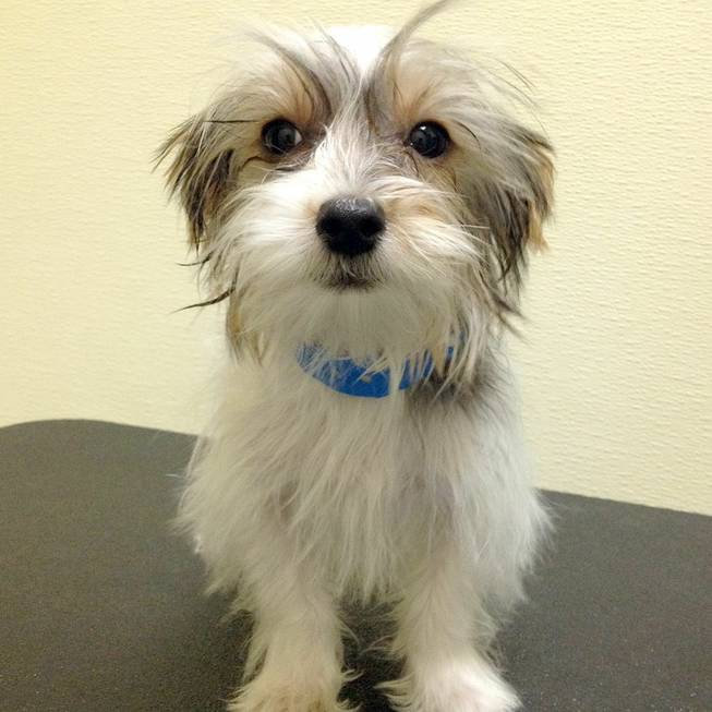 Ignacio, a 3-month-old male Yorkshire terrier mix, is one of 11 Arson Puppies that as of 11 a.m. Monday had yet to have anyone bid to adopt him in a raffle.