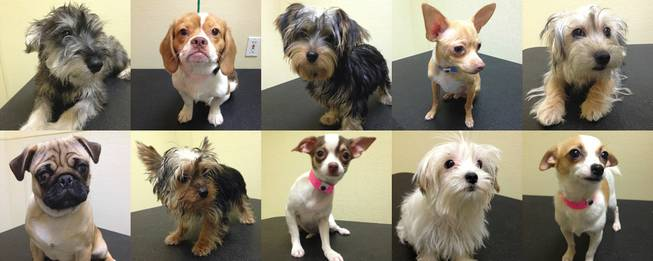 These are among 11 puppies saved from a Jan. 27 arson fire at a Las Vegas pet store that are up for raffle this week but have drawn no interest from the public. Top row, from left, Brenton, Keegan, Hayden, Neci and Effie; bottom row, from left, Ethon, Elmo, Enya, Fia and Nuri.